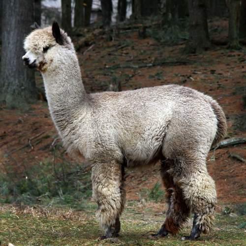Alpaca Herdsires: Vintage Cashmere U-Taupe-ia: Huacaya, Male, Proven