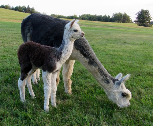 Grey dam producing grey cria with blue eyes! Sire: brown but turning rose grey.