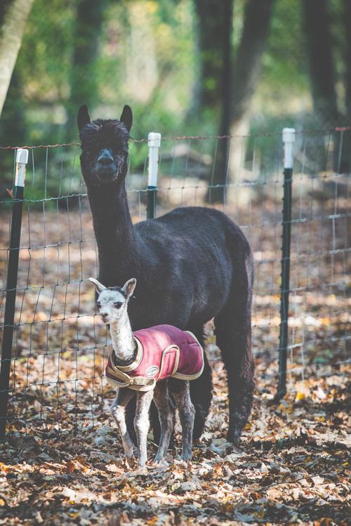 nuevo mundo alpaca is an alpaca farm located in selbyville delaware owned by elizabeth ferguson. Black Bedroom Furniture Sets. Home Design Ideas