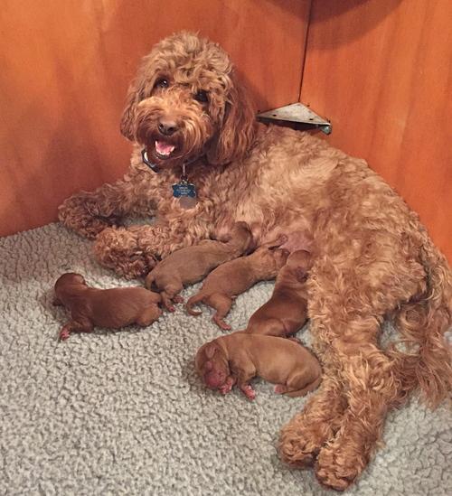 Beautiful litter of red pups