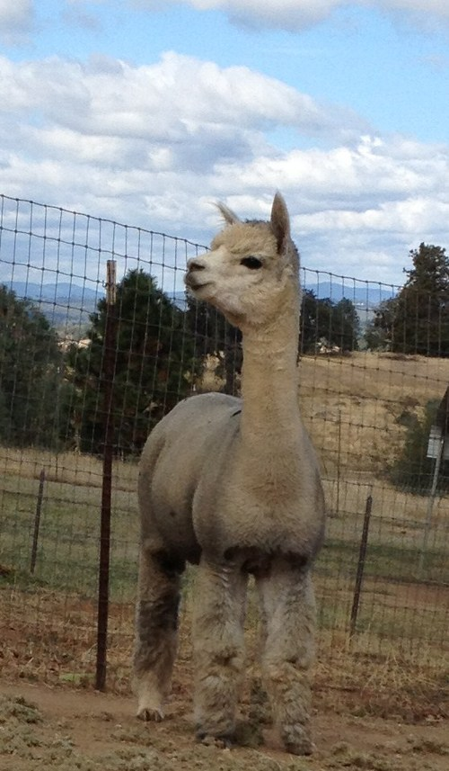 Openherd Menagerie Hill Ranch Is An Alpaca Farm Located