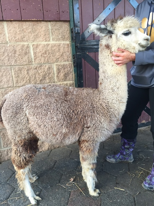 baby alpaca for sale