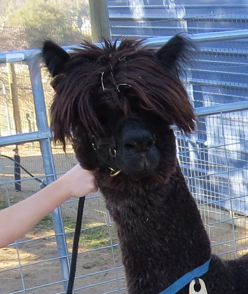 alpaca for sale