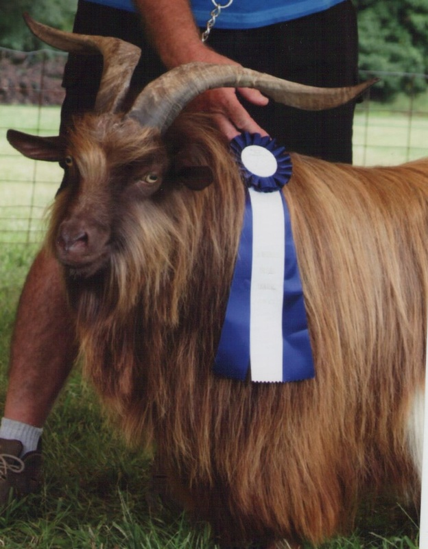 Goatzz: Rusted Gates Mini Silkie Fainting Goats is a goat