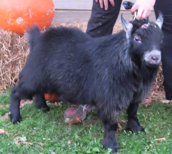 openherd r s farms pygmy goats is a goat farm located in east