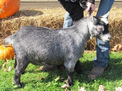 Openherd: R S  Farms Pygmy Goats is a goat farm located in