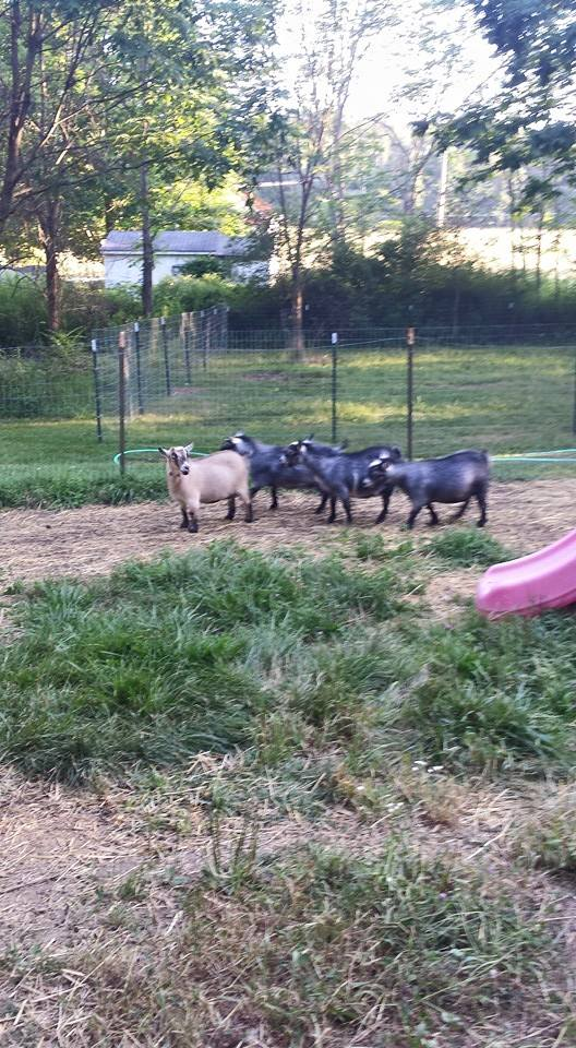 R Goats Goatzz: R.S. Fa...