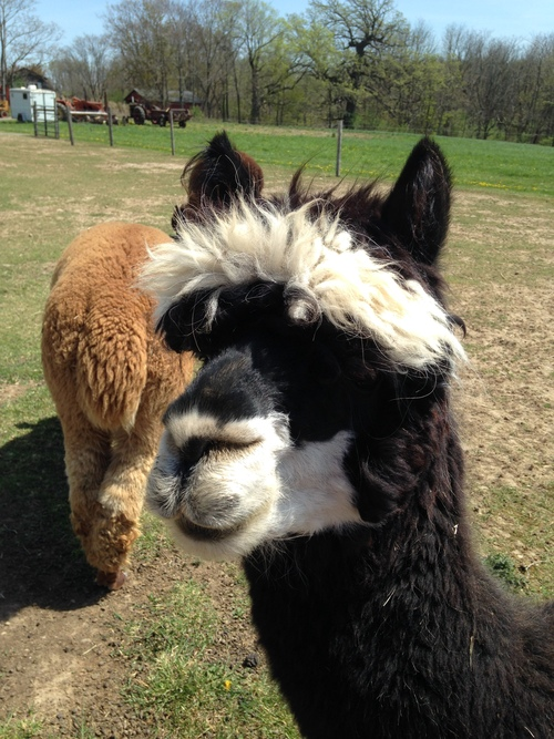 ms bhaven alpacas is a farm located in churchville new