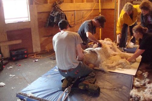 Shearing Day 2017