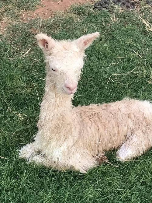 8e10680a11016 Alpacas For Sale: Spar's Galaxy Girl: Suri, Female, Proven: Oklahoma ...