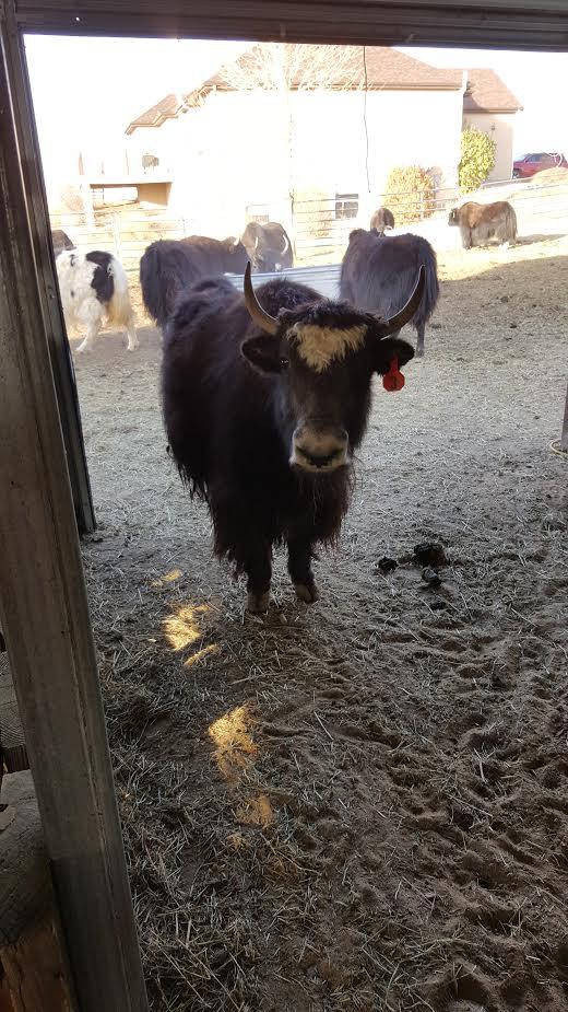 Yakzz: Rolling Thunder Yak @ Cow Creek Ranch Is A Farm