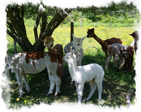Some of our herd enjoying the shade!