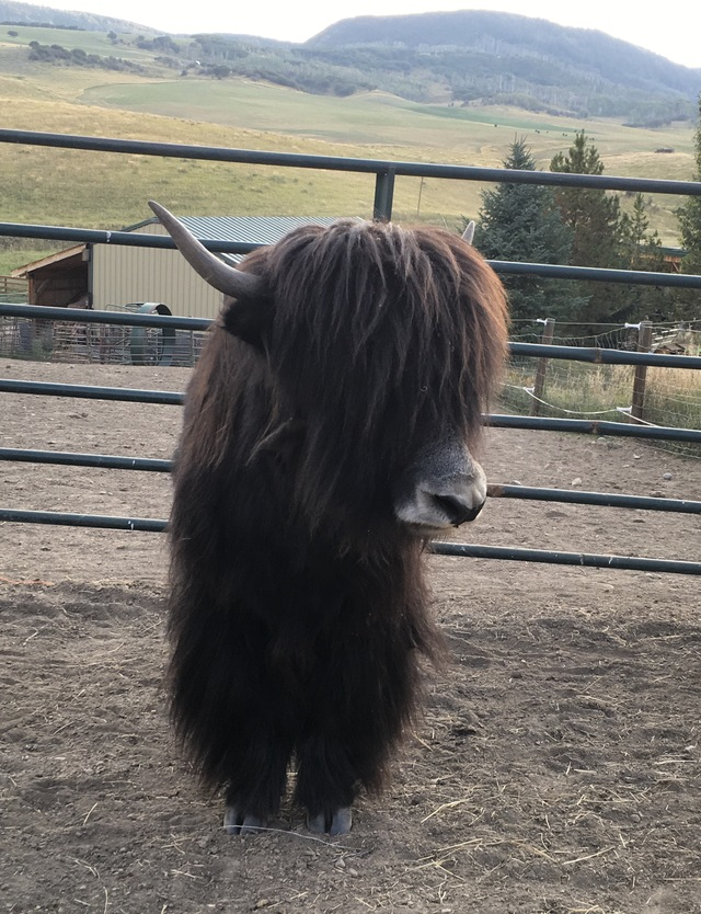 Yakzz: Sleeping Giant Yaks Is A Farm Located In Steamboat