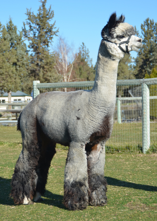 alpaca herdsires  chief grey feather