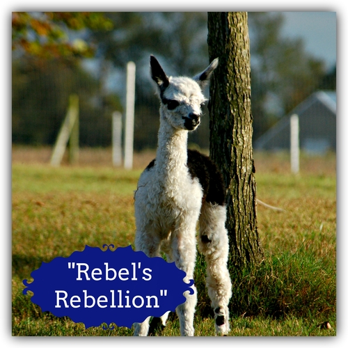 Rebel's Rebellion (Boy)