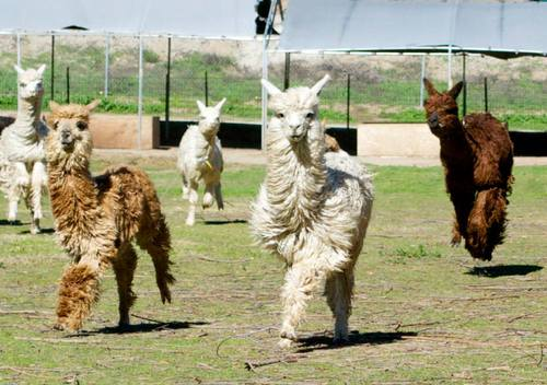 Alpacas running for treats!
