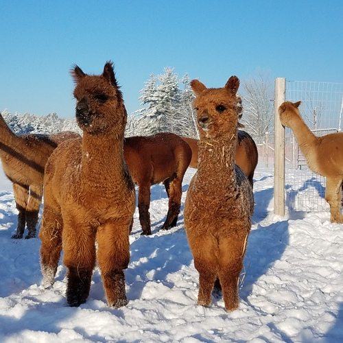 Maine Alpaca Association: Northern Solstice Alpaca Farm, LLC  is a