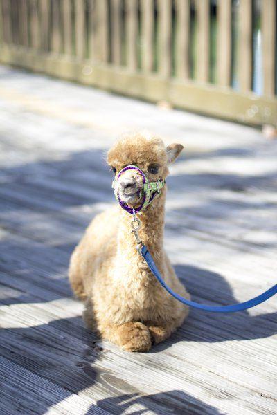 Meet Annie: Wild Adventures welcomes young alpaca