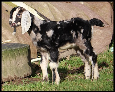 goatzz grace abounds minis is a goat farm located in woodland