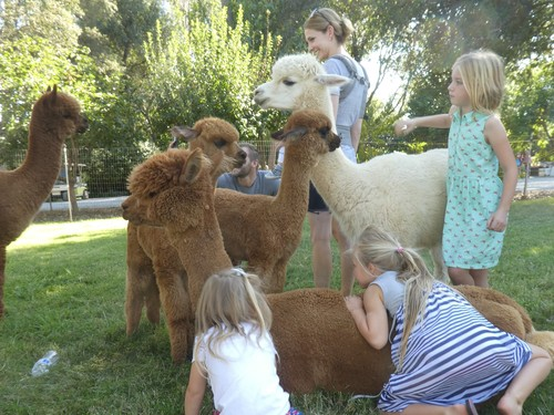 Meet the  alpacas
