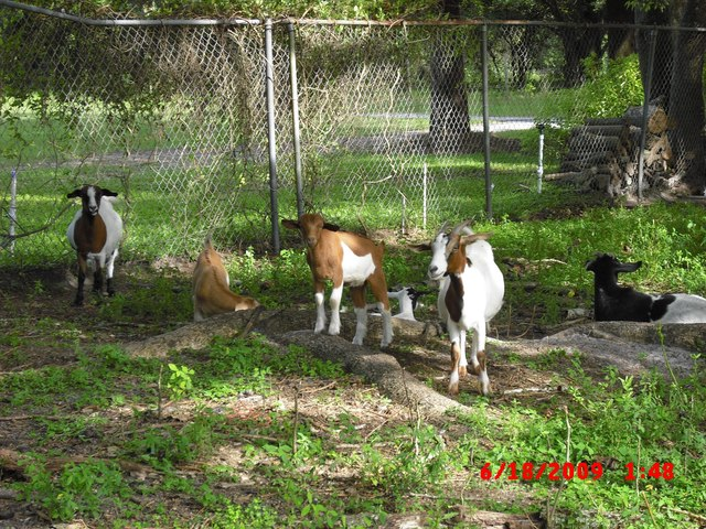 Goatzz: Fireflys Farm is a goat farm located in Lutz, Florida owned
