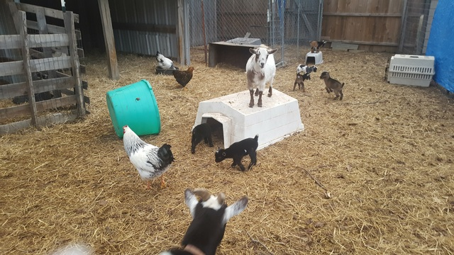 Goatzz Hurcompany Com Is Cattle Horses Goats Bunnies Birds Chickens Located In Commerce Texas Owned By Kimberley Hur Cattle Horses Goats Bunnies Birds Chickens