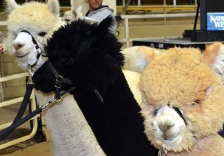 Hundreds of alpacas in Denver to compete at the Great Western Alpaca Show