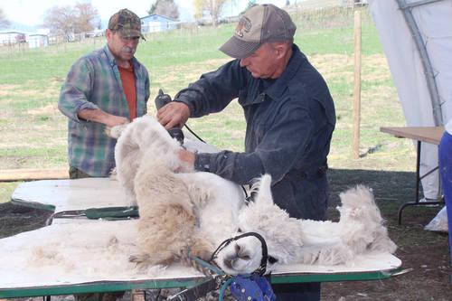 North Okanagan alpaca embryo transfer program yields top fleece