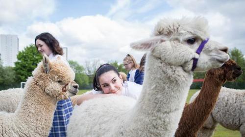 Finding exams stressful? Then hug an alpaca