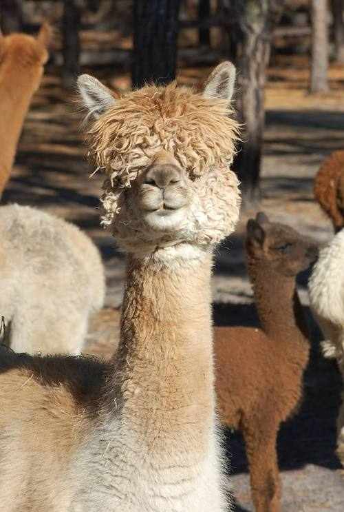 4c48f0809bef84 Alpacas For Sale: EMPIRE'S SIMONE BIZCOCHO: Huacaya, Female, Proven ...