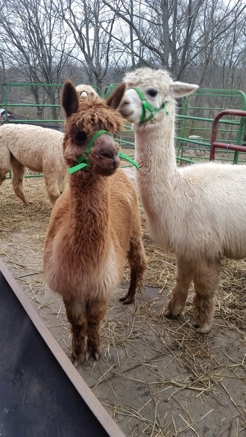 Openherd Sunburst Valley Alpacas Is An Alpaca Farm Located In Cincinnati Ohio Owned By Shelli Homan An Alpaca Farm