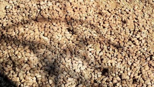 Llama beans