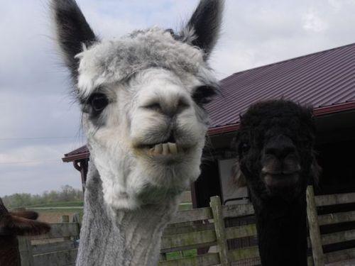 Windswept Farm loves their alpacas