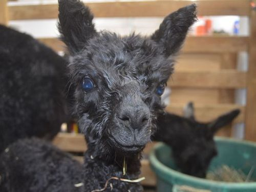 How Gallatin couple's love for alpacas turned into thriving yarn business