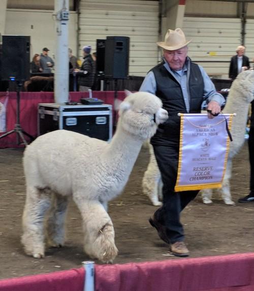 4d31882d73fa3e Alpacas For Sale: Clear Mountain's Okemo: Huacaya, Male, Proven ...
