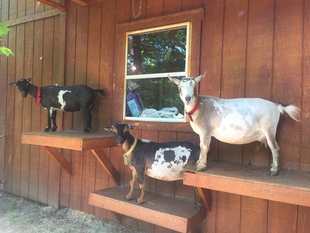 Silly Billy Goat Farm, LLC: Nigerian Dwarf Goats
