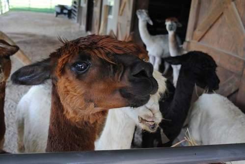 Farm offers chance to befriend alpacas