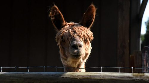 92 alpacas in Zanesville make up the largest Suri Alpaca farm in Southeast Ohio