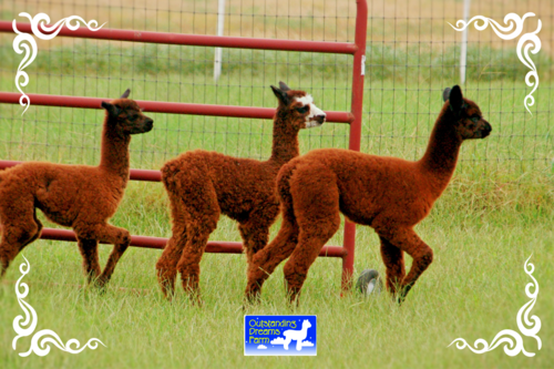 Baby alpacas just born a few weeks ago