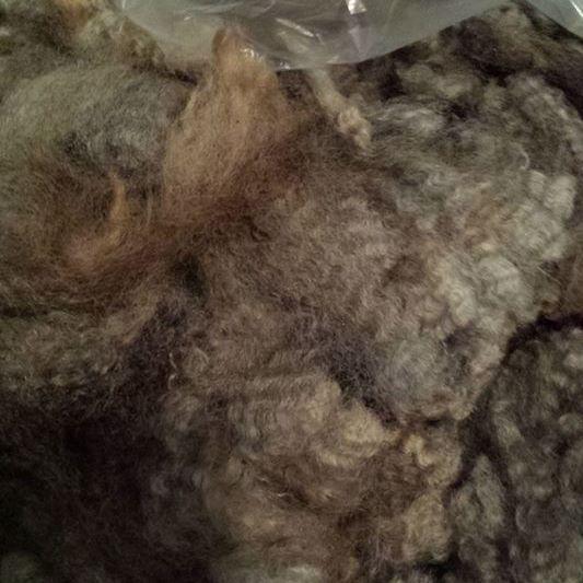 Dan Roe's fleece (Romney)
