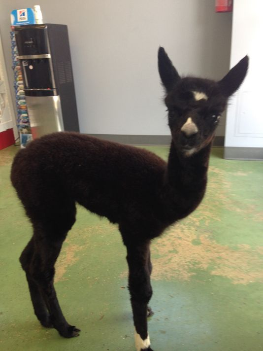 Orphaned alpaca roams free in South Knoxville vet office, makes herself at home