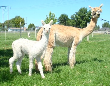 Top Quality Suri Alpacas