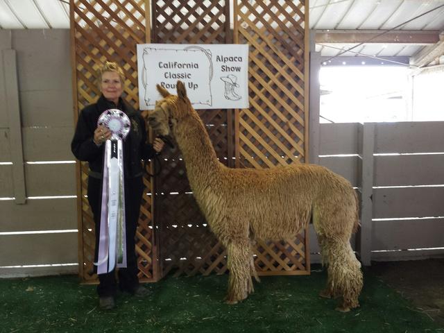 Alpacas For Sale: El Dorado Miracle on Ice: Suri, Female ...