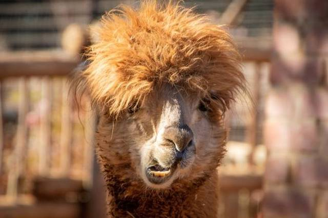 Llamas could save us all from the flu