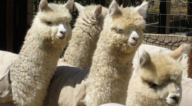 Alpacas, Sheep and Cashmere