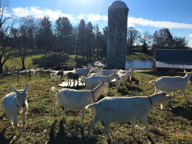Goatzz: Harvest Hills Farm is a dairy goat farm located in Wooster