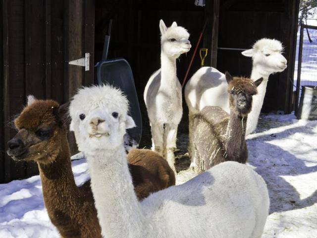 Feral dogs shot after killing alpacas