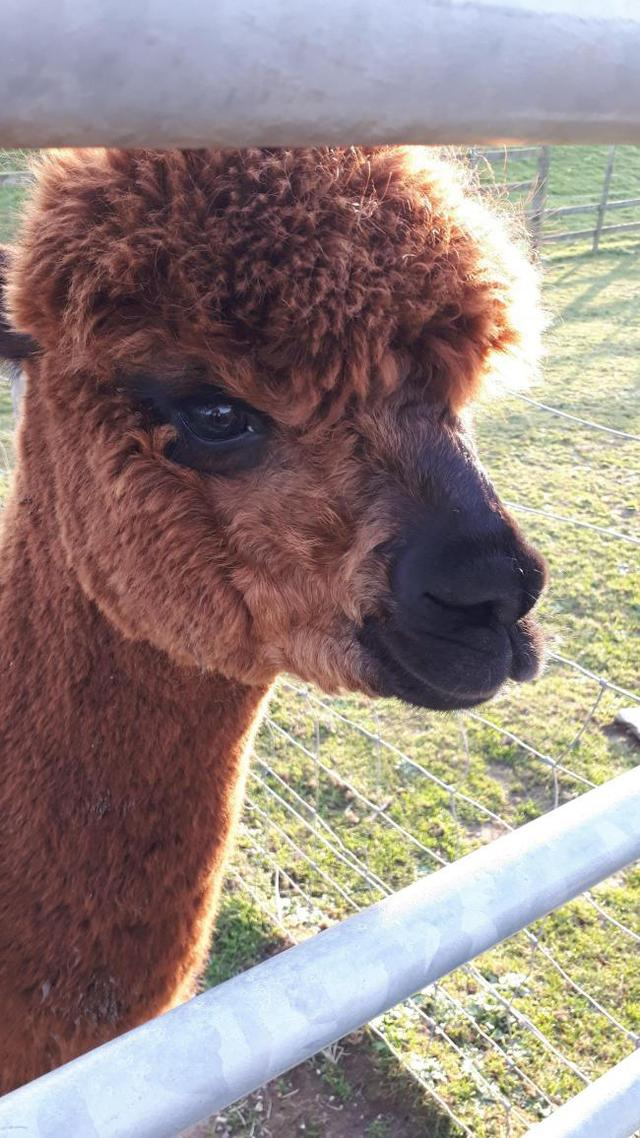 Alpaca walks are now being offered at Portland's Fancy's Farm
