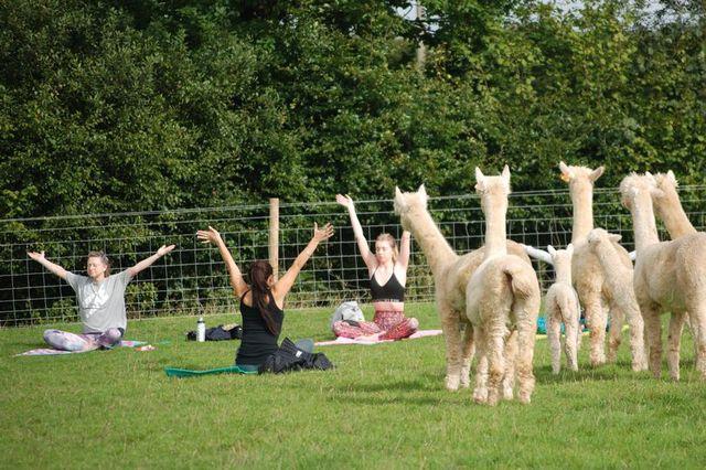 Devon farm is the first in UK to offer Alpaca Yoga
