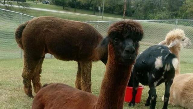 Alpacas die at Tennessee high school, teacher cited